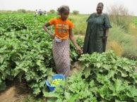 aubergines Ross BéthioSénégal 2012 06